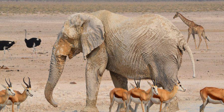 Gacela o Elefante?